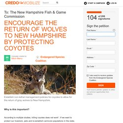 Encourage the return of wolves to New Hampshire by protecting coyotes