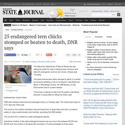 25 endangered tern chicks stomped or beaten to death, DNR says