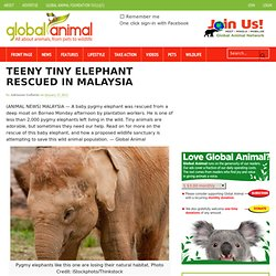Endangered baby pygmy elephant rescued in Borneo