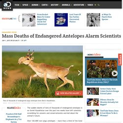 Mass Deaths of Endangered Antelopes Alarm Scientists