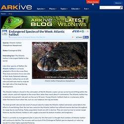 Endangered Species of the Week: Atlantic halibut