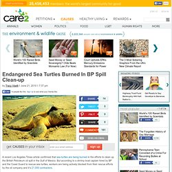 Endangered Sea Turtles Burned In BP Spill Clean-up