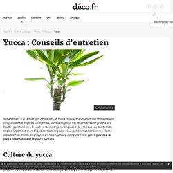 Yucca : Entretien, arrossage et rempotage