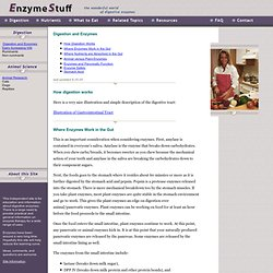 Enzymes & Digestion