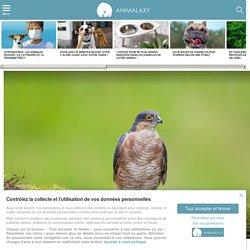 Épervier d'Europe : 5 choses à savoir sur ce serial killer d'oiseaux
