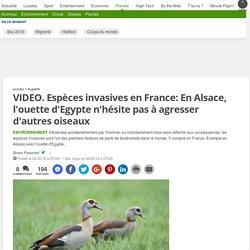 20MINUTES 02/05/18 VIDEO. Espèces invasives en France: En Alsace, l'ouette d'Egypte n'hésite pas à agresser d'autres oiseaux