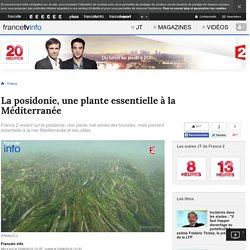 La posidonie, une plante essentielle à la Méditerranée