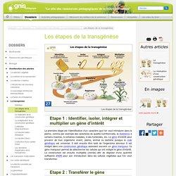 étapes de la transgénèse