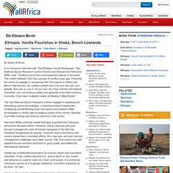 Ethiopia: Vanilla Flourishes in Sheka, Bench Lowlands