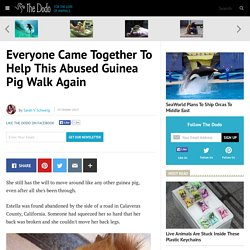 Everyone Came Together To Help This Abused Guinea Pig Walk Again