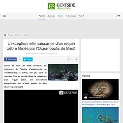 L'exceptionnelle naissance d'un requin zèbre filmée par l'Océanopolis de Brest