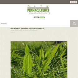 Le plantain, cette herbe aux vertus exceptionnelles