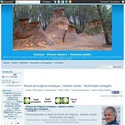 Photos de Fulgores exotiques : Aphane variée - Penthicodes variegata