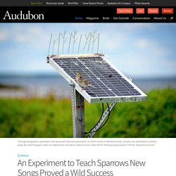 An Experiment to Teach Sparrows New Songs Proved a Wild Success