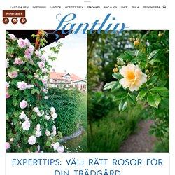 Experttips: Välj rätt rosor för din trädgård