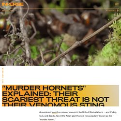 """""""Murder hornets"""" explained: Their scariest threat is not their venomous sting"""