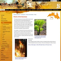 Savanna Explorer - Northern Australia - All Regions - Plants & Animals - Plants of the Savannas