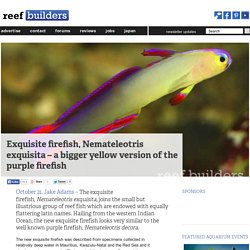 Exquisite firefish, Nemateleotris exquisita – a bigger yellow version of the purple firefish