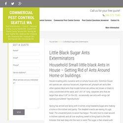 Little Black Sugar Ants Exterminators