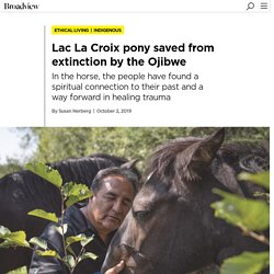 Lac La Croix pony saved from extinction by the Ojibwe