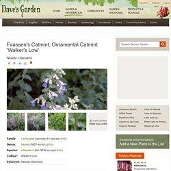 Faassen's Catmint, Ornamental Catmint Nepeta x faassenii 'Walker's Low'