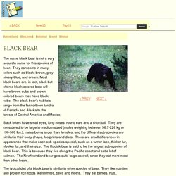 Bear Facts - Species - American Black Bear