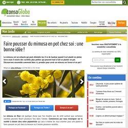 Faire pousser du mimosa en pot chez soi : une bonne idée !