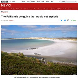*****To clear or not to clear mines? The Falklands penguins that would not explode