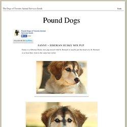 Fanny - Siberian Husky mix pup