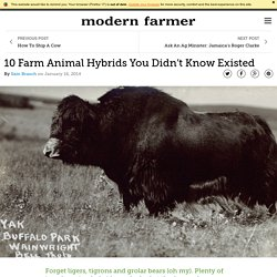 10 Farm Animal Hybrids You Didn't Know Existed