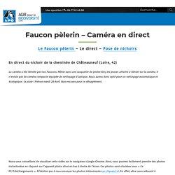 Faucon pèlerin - Caméra en direct - LPO Loire
