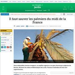 Il faut sauver les palmiers du midi de la France