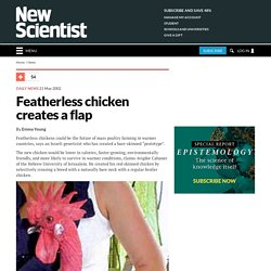 Featherless chicken creates a flap