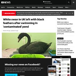 White swan in UK left with black feathers after swimming in 'contaminated' pond