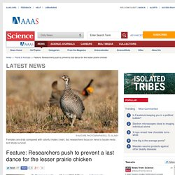 Push to prevent a last dance for the lesser prairie chicken