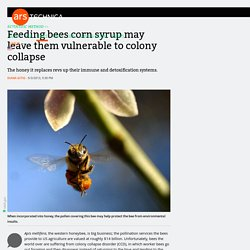 Feeding bees corn syrup may leave them vulnerable to colony collapse