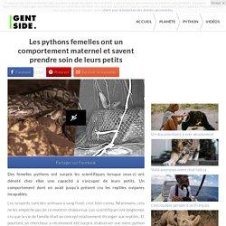 Les pythons femelles ont un comportement maternel et savent prendre soin de leurs petits