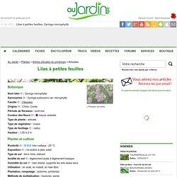 Lilas à petites feuilles, Syringa microphylla : conseils de culture
