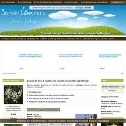Queue de lion à feuilles de nepeta (Leonotis nepetifolia) : culture, entretien, semis