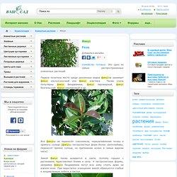 Фикус(Ficus) - Комнатные растения Буква «Ф» - цветочный портал Ваш Сад!
