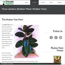 Item 12 - Ficus elastica (Rubber Plant)