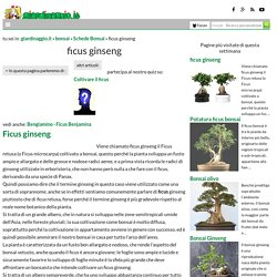 ficus ginseng - Schede Bonsai - bonsai ficus