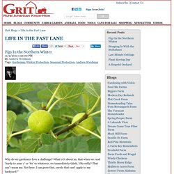 Figs In the Northern Winter - Life in the Fast Lane Blog