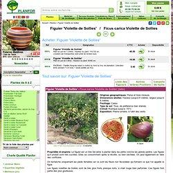 Figuier 'Violette de Sollies' : vente Figuier 'Violette de Sollies' / Ficus carica Violette de Sollies