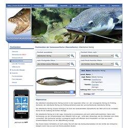 Fischlexikon der Salzwasserfische - Fischname: Atlantischer Hering (Clupea harengus)