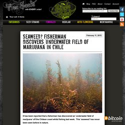 Seaweed? Fisherman discovers 'underwater field of marijuana' in Chile - The Single Seed Centre