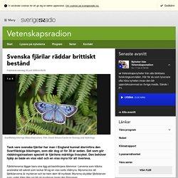 Svenska fjärilar räddar brittiskt bestånd - Vetenskap & miljö