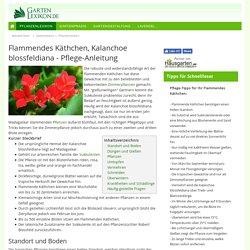Flammendes Käthchen, Kalanchoe blossfeldiana - Pflege-Anleitung