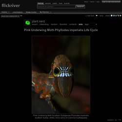 Photoset 'Pink Underwing Moth Phyllodes imperialis Life Cycle' by plant.nerd