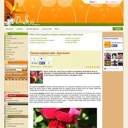 Floarea copilariei mele - Gura-Leului - Flori de gradina